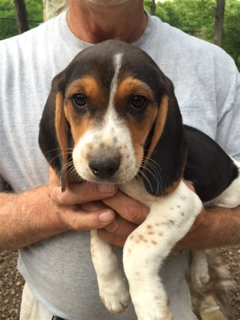 beagle puppies nc view ad beagle puppy for sale carolina