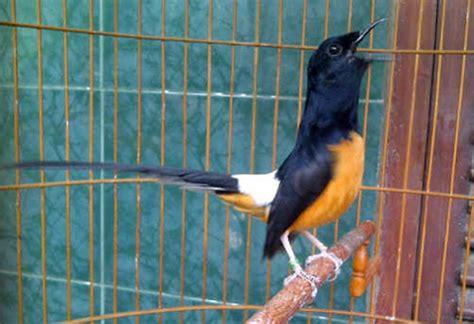 Dijamin Sirine 6 Suara jelang ebod jaya cup kelas murai dijamin seru model cantik jaga peserta bandel klub burung