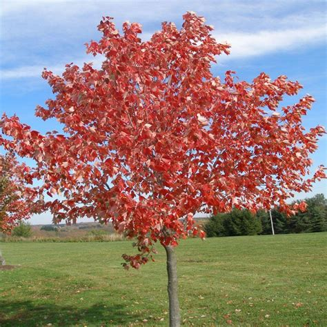onlineplantcenter 5 gal sunset maple tree shop your way shopping earn points on