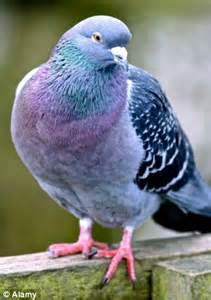 Headl Led Tafh royal marine bit pigeon s and was