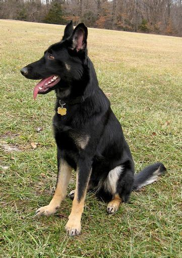 bi colors bi colors german shepherd forums beautiful beasts
