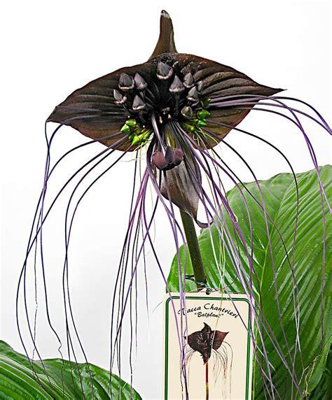 fiore pipistrello acquista pianta pipistrello black bakker