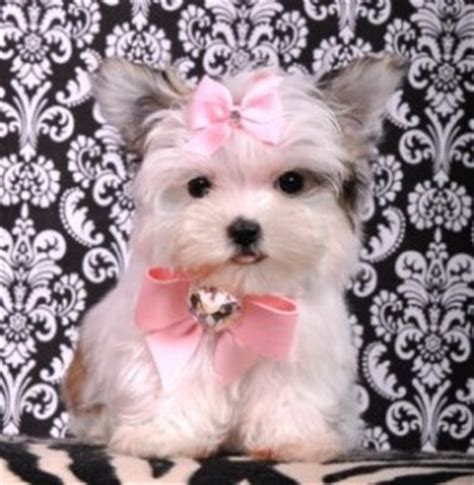 teacup yorkie puppies for sale in mobile alabama baby maltese puppies for adoption in alabama breeds picture