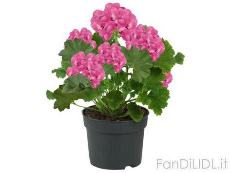 gerani fiori gerani fiori fan di lidl