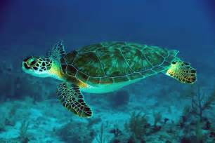 Turtle L by Lets Learn About Green Sea Turtles Journal Edge