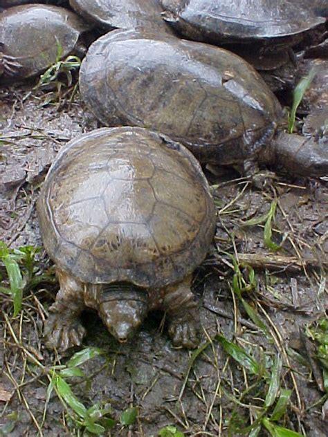 imagenes de tortugas blancas en peligro de extinci 243 n las tortugas de agua dulce en