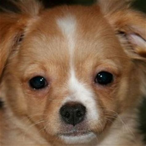 pomeranian puppies tucson pomeranian chihuahua mix information aid 101 learn how a breeds picture