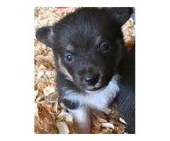 corgi puppies for sale los angeles tibetan mastiff puppies available and daugther animals los angeles