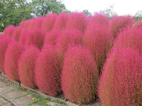 Benih Grass Burning Bush kochia scoparia burning bush 250 seeds ornamental easy grow combsh ebay