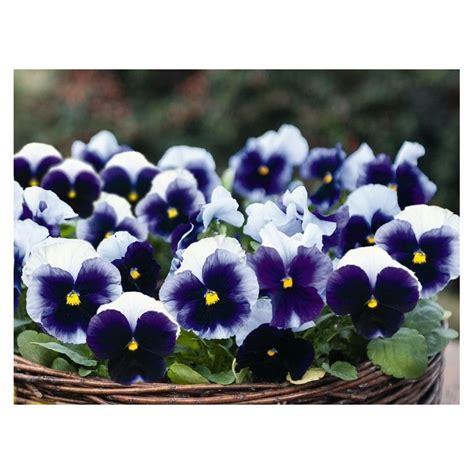 pianta con fiore viola pianta di viola a fiore grande inspire plus beaconsfield