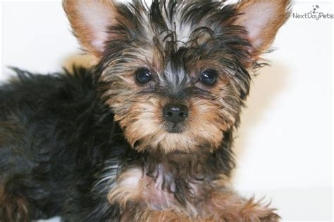 teacup puppies for sale in ohio 200 terrier yorkie puppy for sale near columbus ohio 9d5cb634 5f01