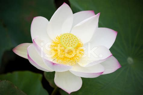 pink lotus stamen pink lotus flower stock photos freeimages