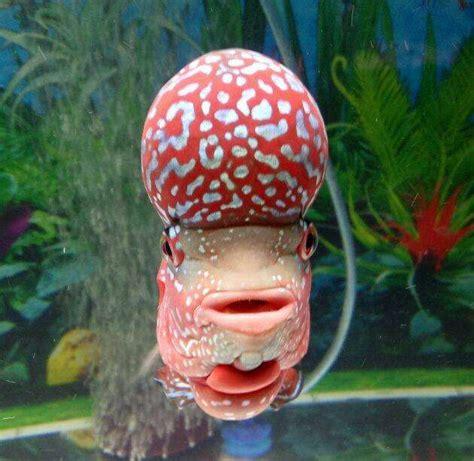 Pakan Ikan Louhan Agar Cepat Besar agar jenong ikan louhan besar binatang peliharaan