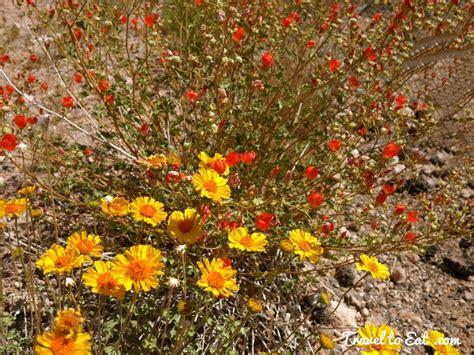 desert flowers desert spring flowers 2014 valley of fire travel to eat