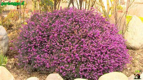arbusti sempreverdi da terrazzo perenni sempreverdi