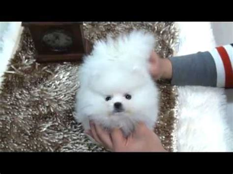 snow white pomeranian puppies sale snow white is a tiny teacup pomeranian puppy for sale