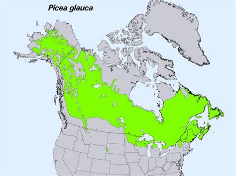 white spruce wikipedia