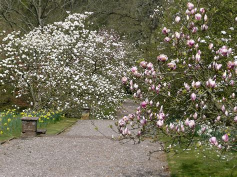 Magnolia Garden Nursery by Plant Of The Month Magnolia Hodnet Gardens