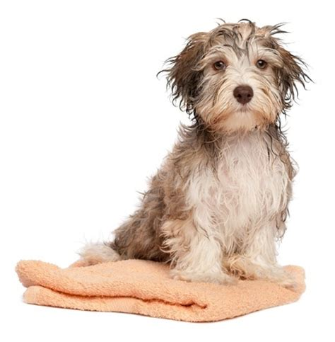 how to bathe puppy how to embark on bathing a puppy argos pet insurance