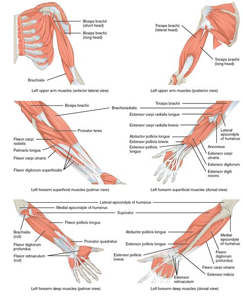muscles diagram arm diagram search 30 day