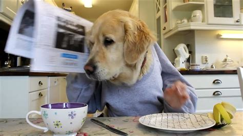 sick golden retriever this golden retriever is sick of his owner s feeble attempts at stealing his pacifier