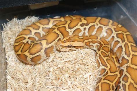 design pattern in python a female caramel burmese python