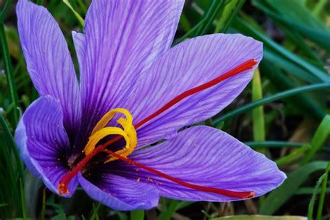 saffron flower spices pinterest