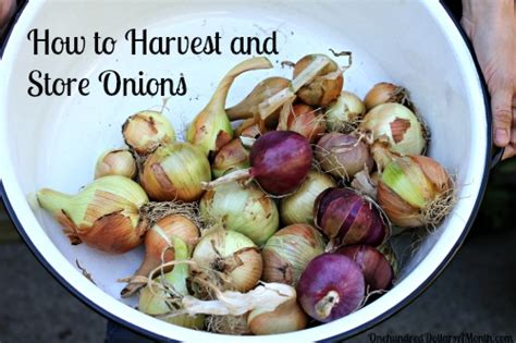 How To Store Onions From The Garden by Mavis Garden How To Harvest And Store Onions One