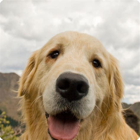 golden retriever vs american canadian golden retriever vs american images litle pups