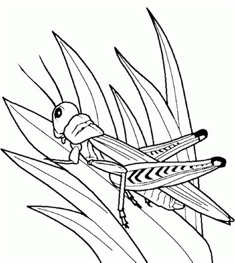 grasshopper insect bug coloring pages animal coloring