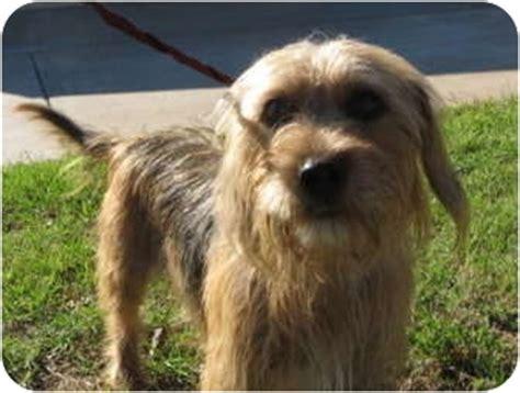 stillwater yorkies taffy adopted stillwater ok dachshund yorkie terrier mix