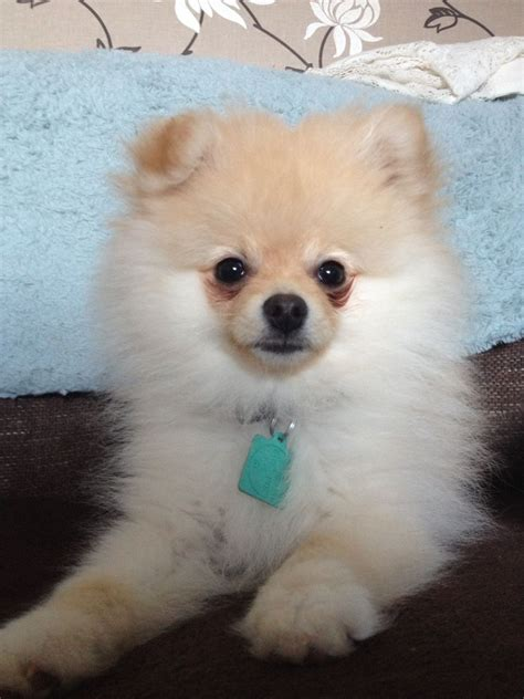 reputable pomeranian breeders pomeranian puppies breed information breeds picture