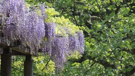 wisteria trellis wisteria trellis taken in the of japan stock