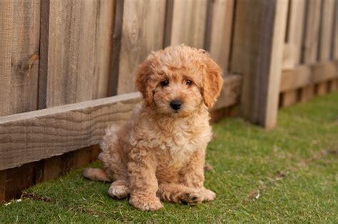 mini labradoodles rescue mini labradoodle puppy foto gambar wallpaper