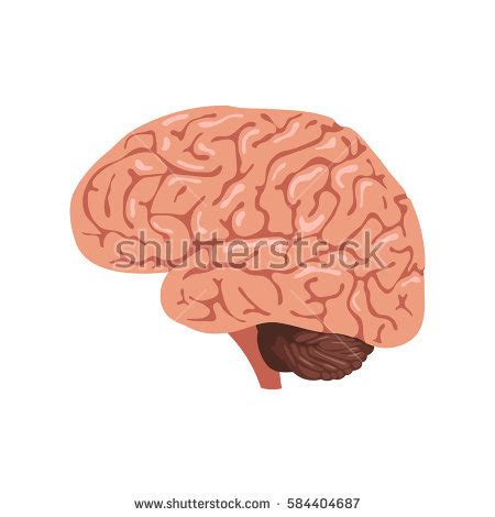 Brains Not by Thalamus Stock Images Royalty Free Images Vectors