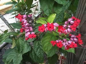 Low Light Climbing Plants - plants amp flowers 187 clerodendrum thomsoniae delectum