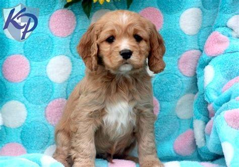 amish golden retriever puppies for sale 111 best loving puppies for sale images on puppies for sale golden