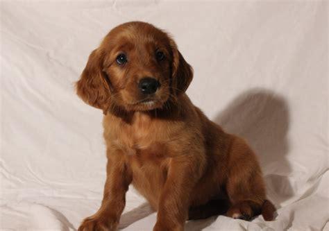 golden retriever puppies il glorious puppies rock creek golden