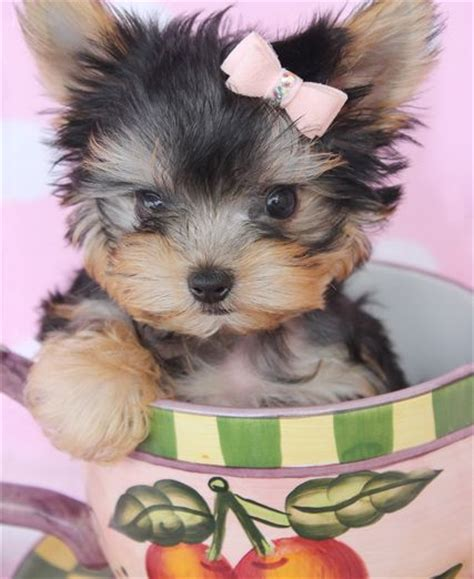 yorkie in a teacup 1000 ideas about teacup yorkie on yorkie terrier and