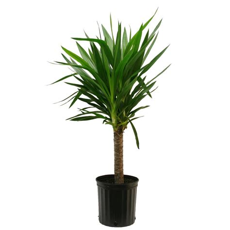 in door plants pot video three four plants argements delray plants yucca cane 1pp in 8 3 4 in pot 10yc1 the home depot