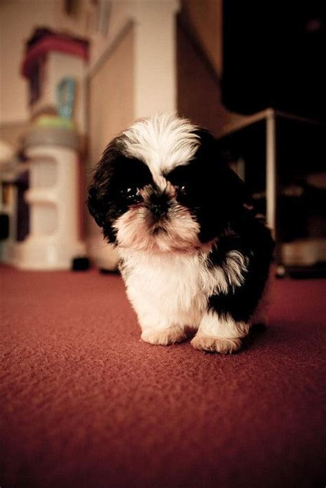 baby shih tzu names 25 best ideas about flock browser on pattern shih tzu puppy and