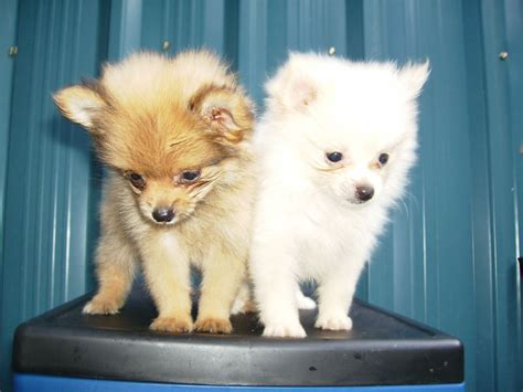 pomeranian and shih tzu mix puppies for sale pomeranian shih tzu mix puppies for sale