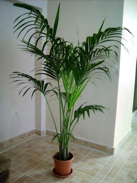 palmenarten zimmerpflanzen plantzone thema anzeigen forstersche kentia howea
