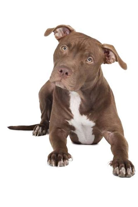 best food for pitbulls to gain top 5 best food for pit bulls to gain in 2017
