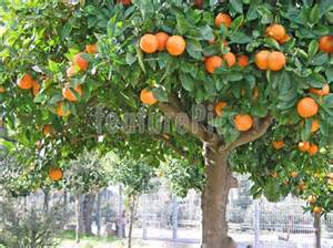 Sour orange tree stock photo i1086904 at featurepics