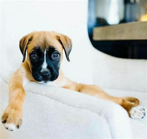 golden retriever mix puppies rescue best 25 boxer shepherd mix ideas on german