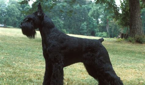7 pageant worthy schnauzer dog haircuts hairstylec 7 pageant worthy schnauzer dog haircuts hairstylec