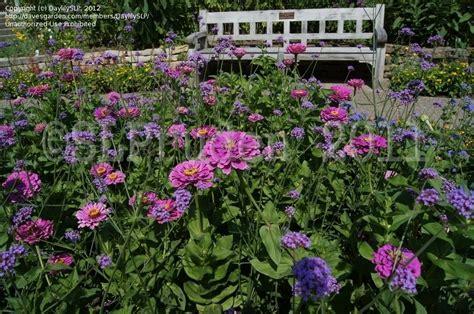 Matthaei Botanical Gardens Arbor Mi by Plantfiles Pictures Zinnia Benary S Lilac Zinnia