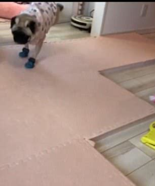 prancing pug dogs react to to wear booties to go out in the snow