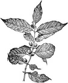 coffea arabica clipart etc
